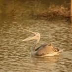 _tudi živalski svet je fascinanten, na poti smo srečali gospoda pelikana_